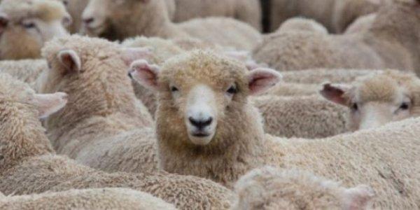 Viene dalla Svizzera la soluzione per i pastori sardi