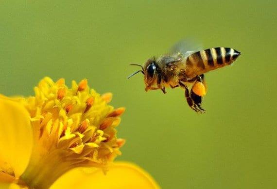 Le api sono il termometro dell'ecosistema impazzito