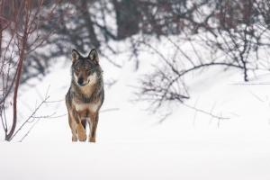 Pensare come i lupi