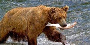 Pesci con manie suicide, salmoni sordi e orsi vegetariani. (Un punto di vista ittico sull'ecologia)