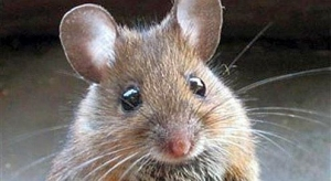 """Una """"provocazione"""" in difesa di topi, sorzi, moreie, moreiete e pantegani"""